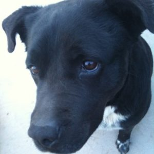 Jazmine the pitbull labrador