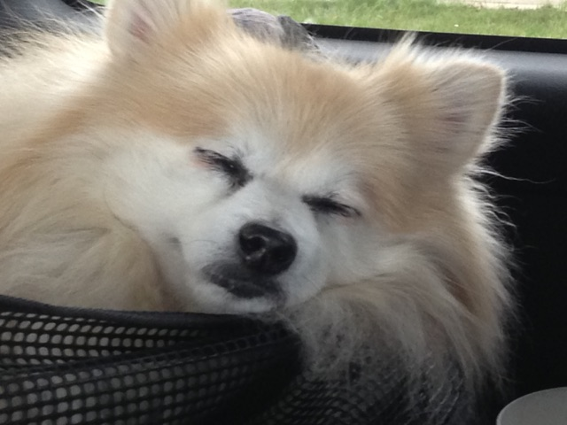 Our Pom Pierre asleep 5dogfarm