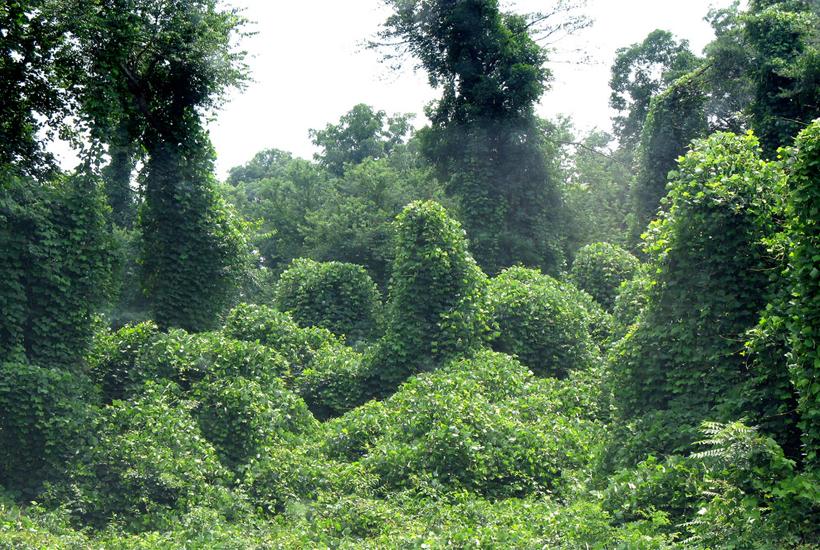 kudzu overgrowth