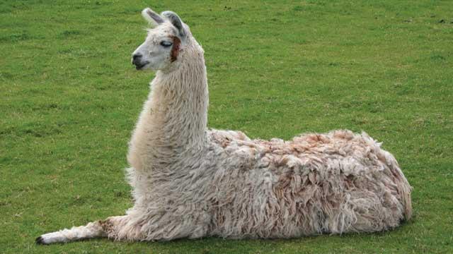single llama laying down