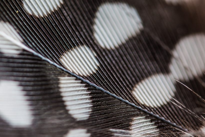 close up of guinea hen feather