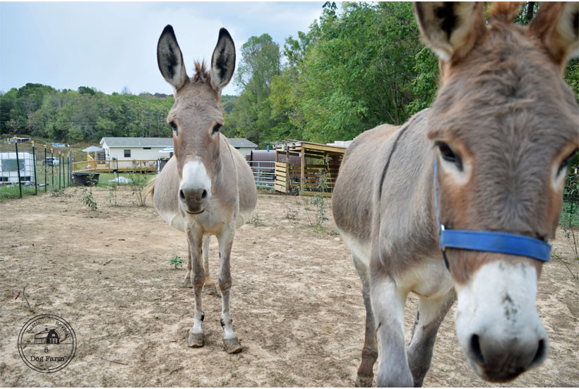 photo of pregnant donkey 5 Dog Farm