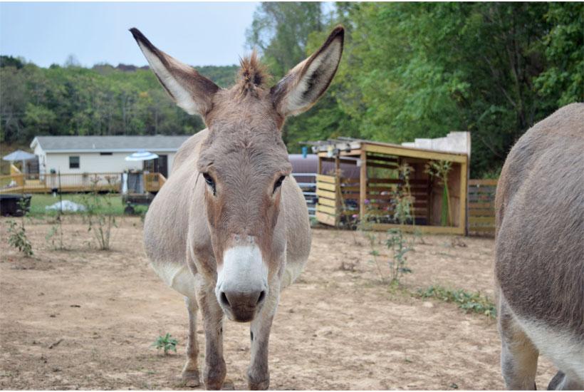 Bonnie the donkey 5 Dog Farm