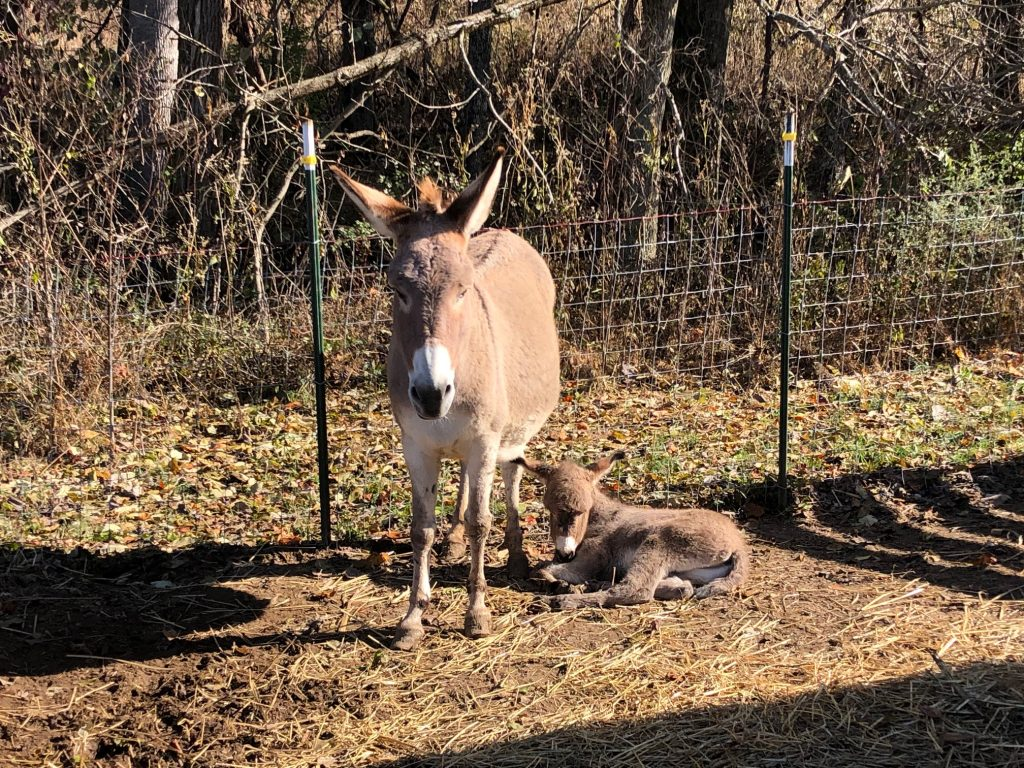 mom and baby donkey 5DogFarm