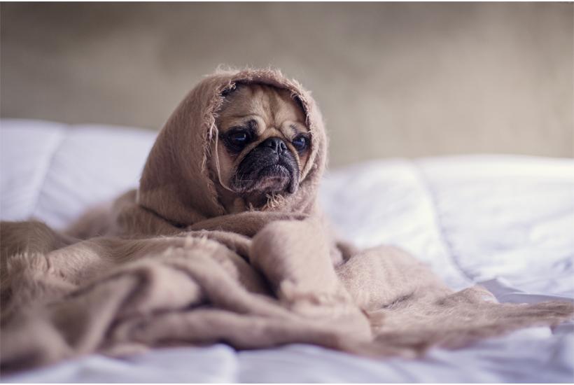 pug under blanket