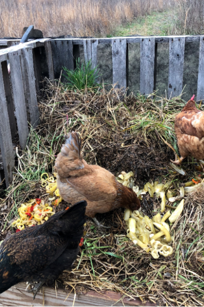 chickens eating fermented food in compost bin