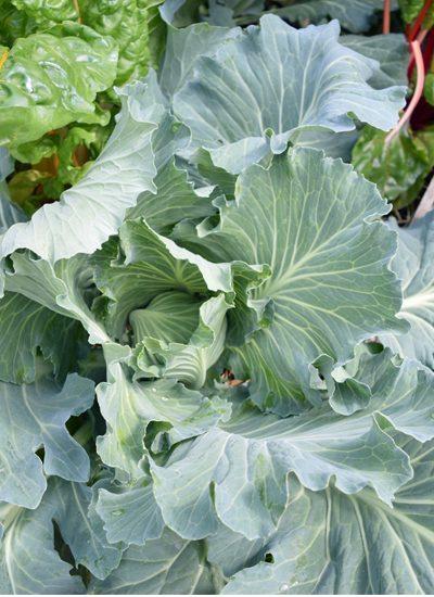 close up of Dutch Cabbage 5 Dog Farm