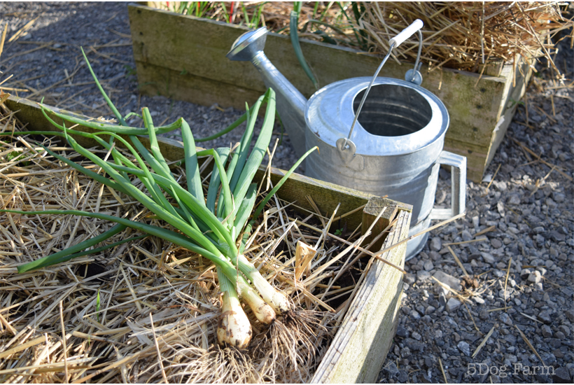 green onions and watering can 5DogFarm