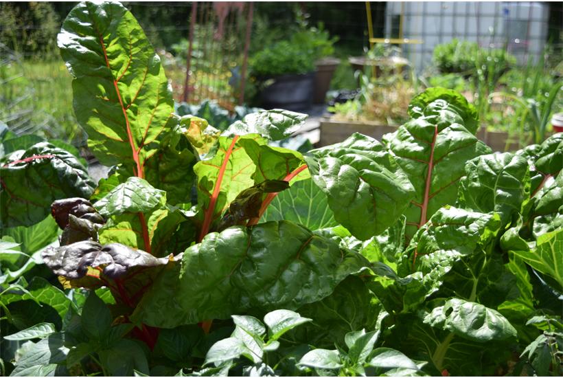 swiss chard in raised garden bed 5DogFarm